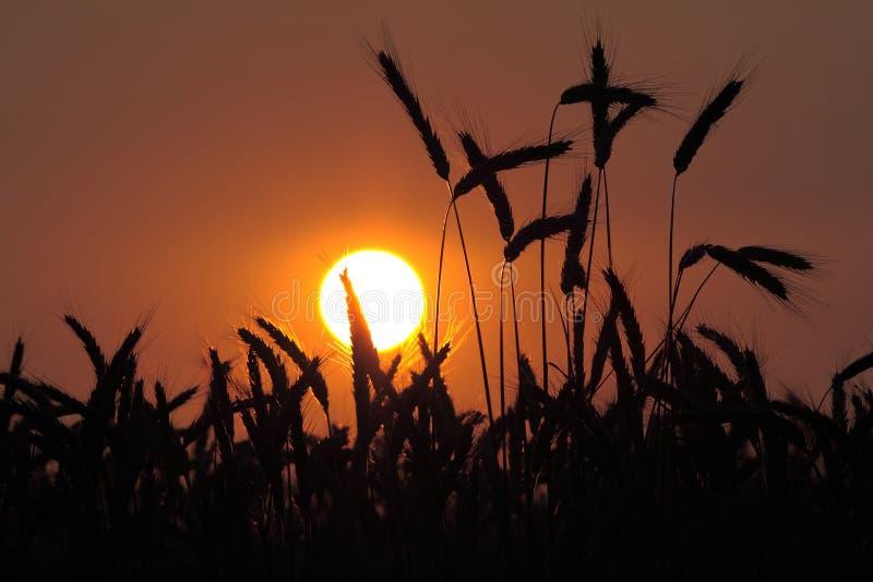Frumento al tramonto fotografia stock libera da diritti