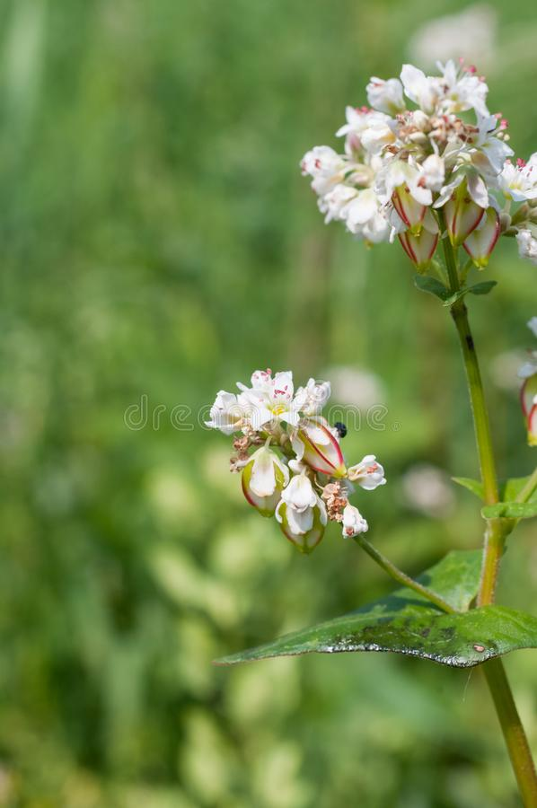 Frumento di grano saraceno esculentum con semi triangolari immagini stock libere da diritti