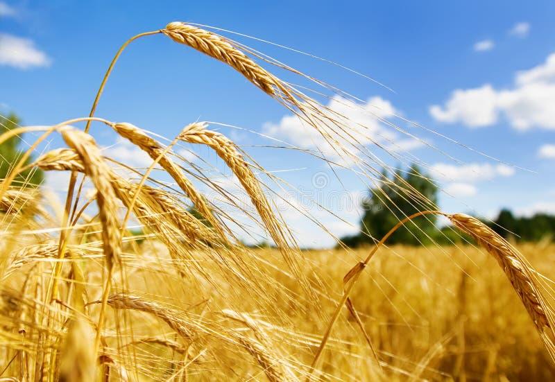 Frumento dorato in un campo dell'azienda agricola immagine stock