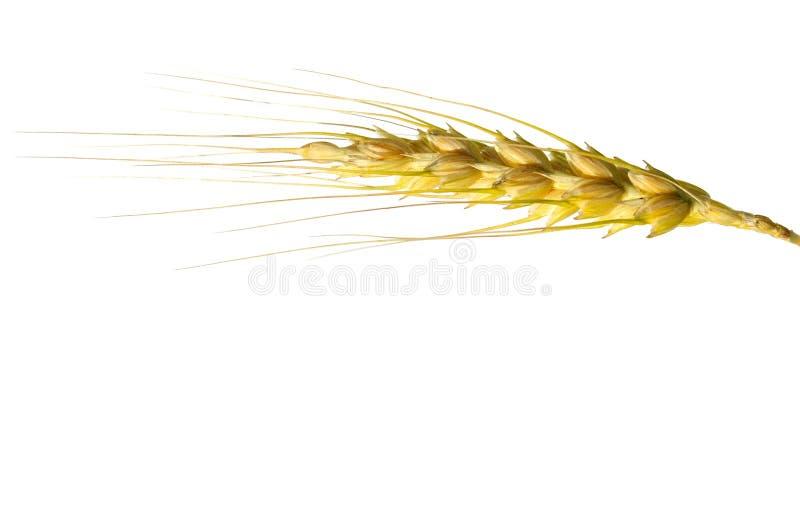 Frumento isolato su bianco. fotografia stock libera da diritti