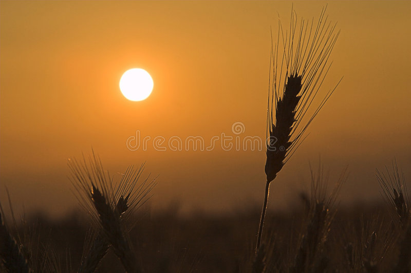 Frumento nel tramonto fotografia stock