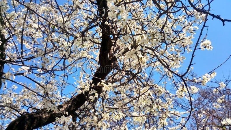 Frunch av körsbäret med blommor arkivbilder