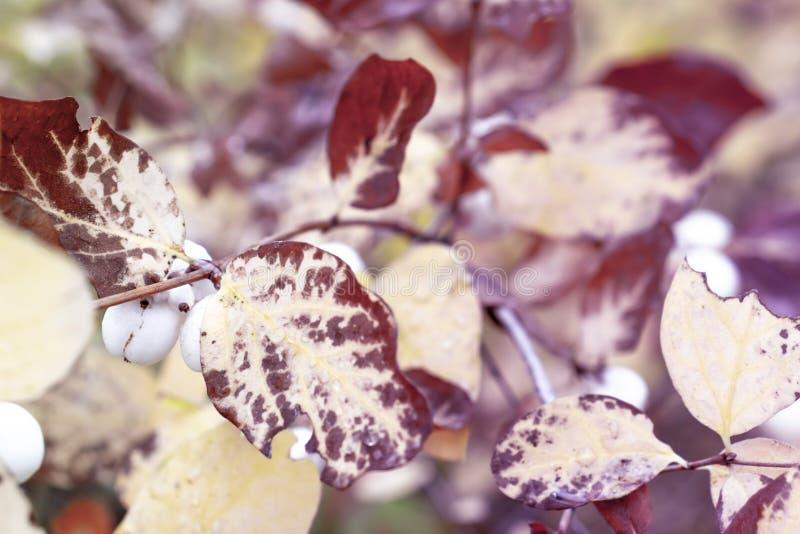 Frunch med gula och bruna sidor för hösten och vita frukter stänger sig upp royaltyfri bild