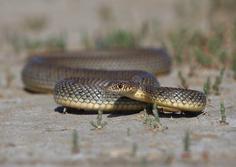 Frusta-serpente caspico immagine stock