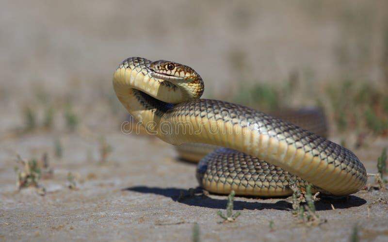 Frusta-serpente caspico fotografia stock libera da diritti