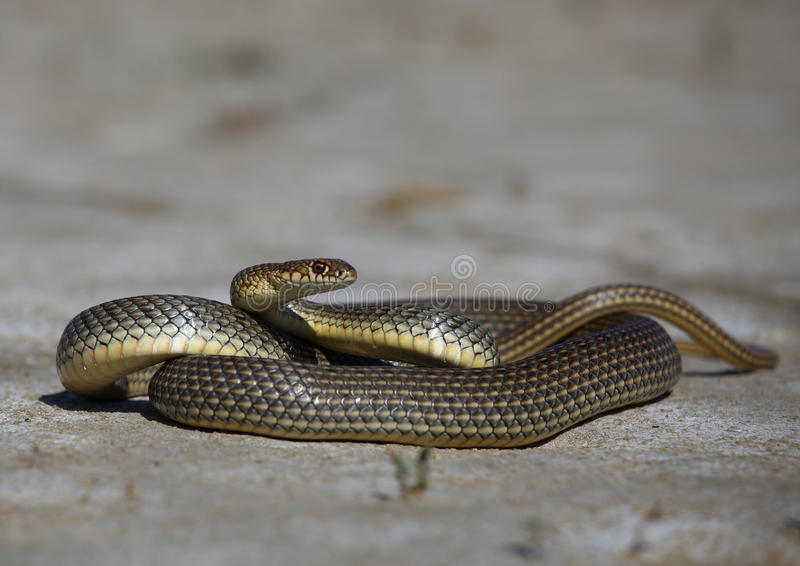 Frusta-serpente caspico immagini stock
