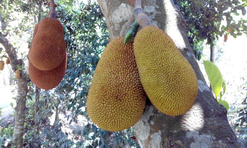 Frut de Bangla fotografía de archivo libre de regalías