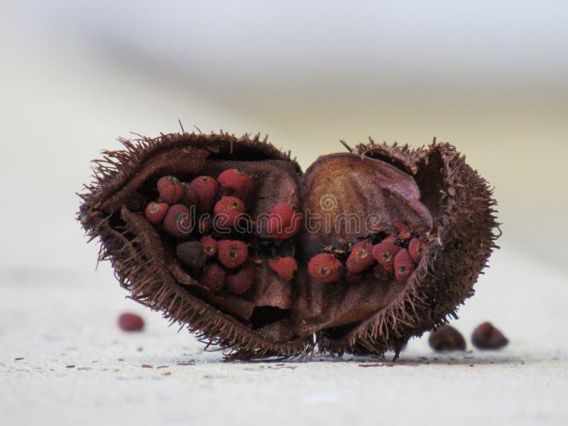 Fruta abierta centrada del árbol ( del achiote; Bixa orellana) , mostrando las semillas de las cuales se extrae el achiote imagenes de archivo