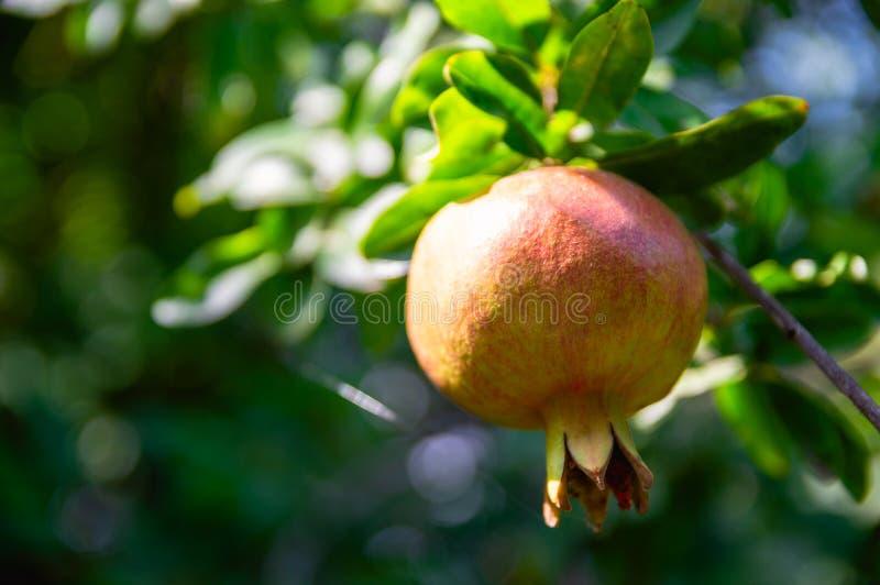 Fruta amarilla de maduración de la granada imagen de archivo libre de regalías