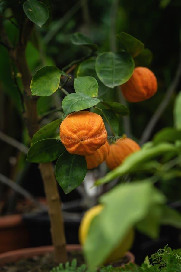 Fruta anaranjada brillante de la mandarina en el árbol de fruta cítrica de la rama fotografía de archivo