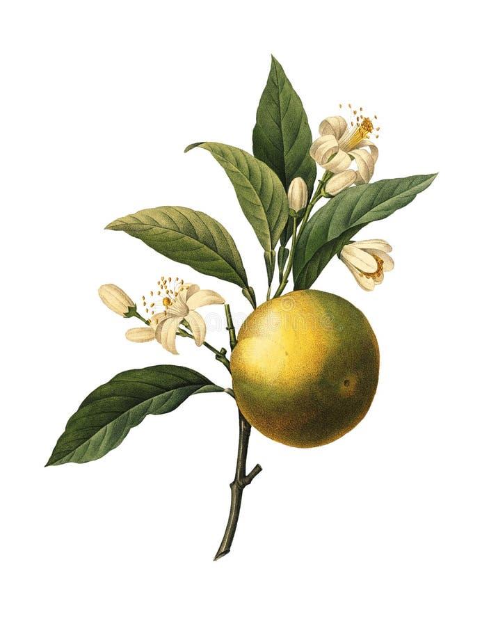 Fruta anaranjada   Ejemplos botánicos de Redoute ilustración del vector