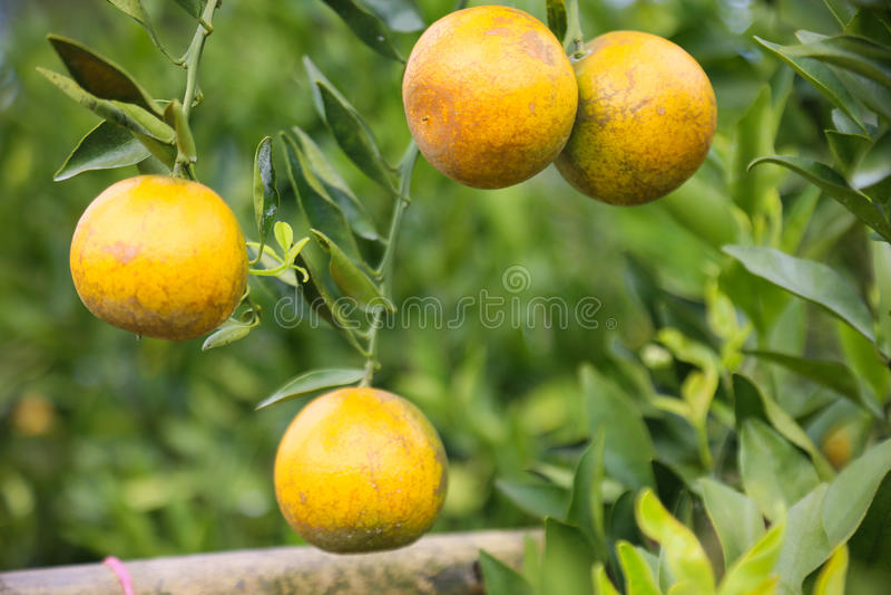 Download Fruta Anaranjada Fresca En Huerta, Fruta Limpia O Fondo Popular De La Fruta, Fruta Del Mercado De La Huerta De La Agricultura Imagen de archivo - Imagen de anaranjado, exportación: 64200283