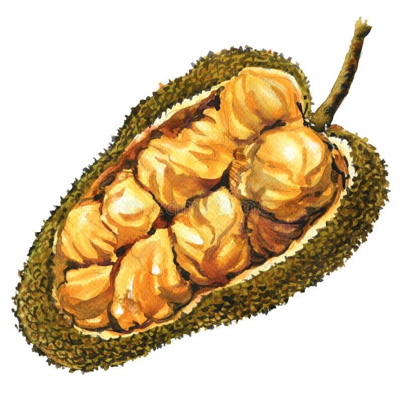 Fruta asiática del cempedak de la fruta-buah, número entero de Artocarpus, objeto aislado, ejemplo de la acuarela en blanco stock de ilustración