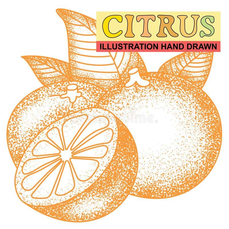 Fruta cítrica dibujada mano ilustración del vector
