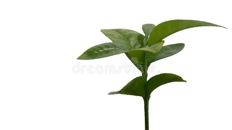 Fruta cítrica joven, almácigo del árbol anaranjado de la satsuma aislado en blanco imagen de archivo libre de regalías