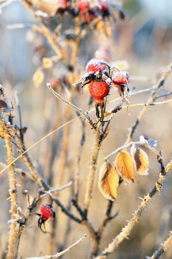 Fruta color de rosa salvaje foto de archivo libre de regalías