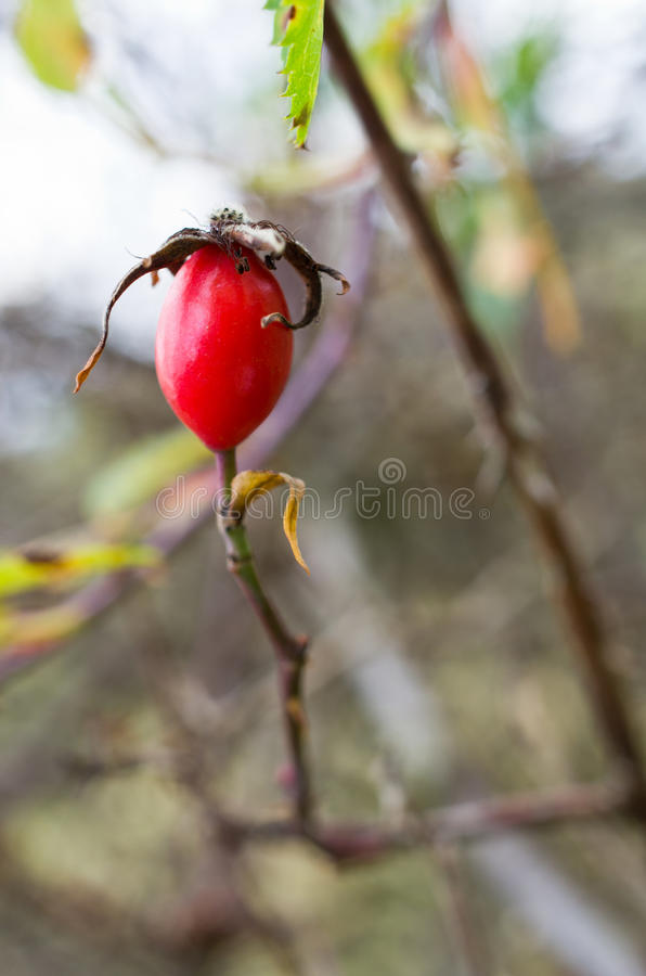 Fruta Cor-de-rosa Selvagem Fotos de Stock Royalty Free