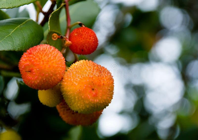 Fruta creciente de Lychee fotos de archivo