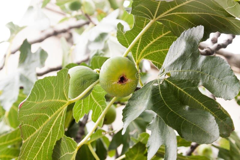 Fruta creciente del higo fotografía de archivo
