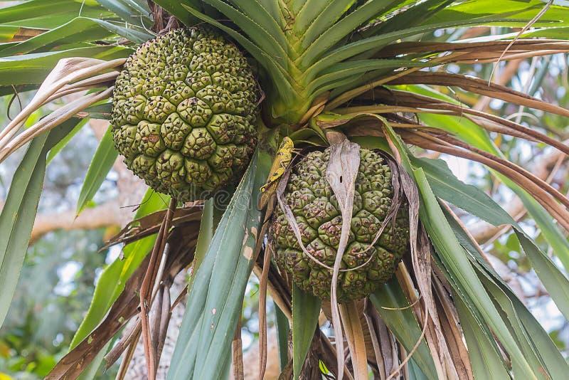 fruta cruda en árbol foto de archivo