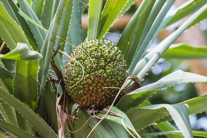 fruta cruda en árbol fotografía de archivo libre de regalías