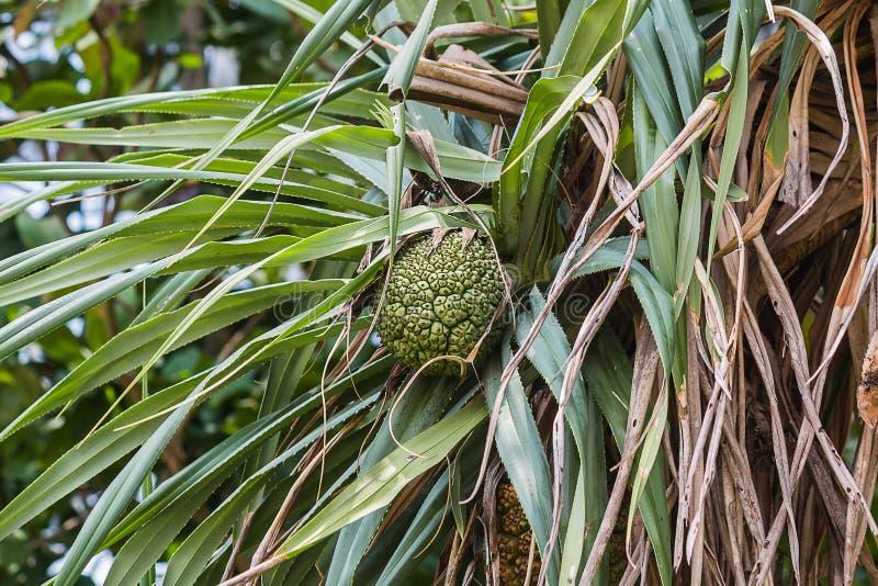 fruta cruda en árbol fotos de archivo libres de regalías