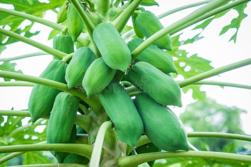 Fruta cruda joven de la papaya en árbol con las hojas verdes imagenes de archivo