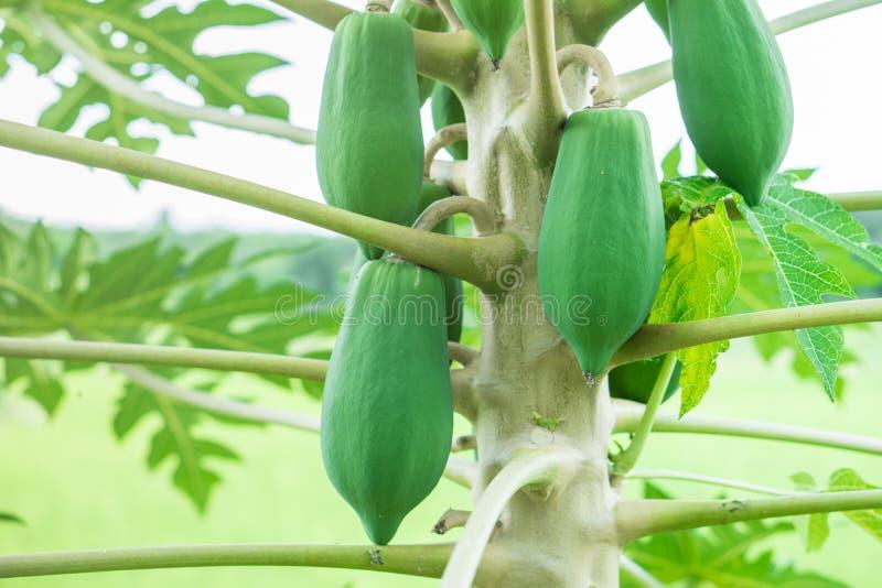Fruta cruda joven de la papaya en árbol con las hojas verdes foto de archivo libre de regalías