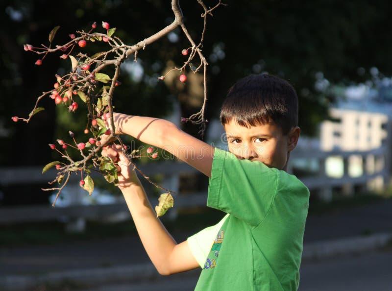 Fruta da colheita do menino da árvore foto de stock