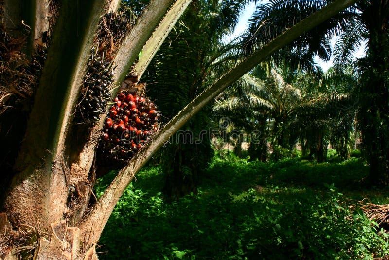 Fruta da palma de petróleo na palmeira imagens de stock
