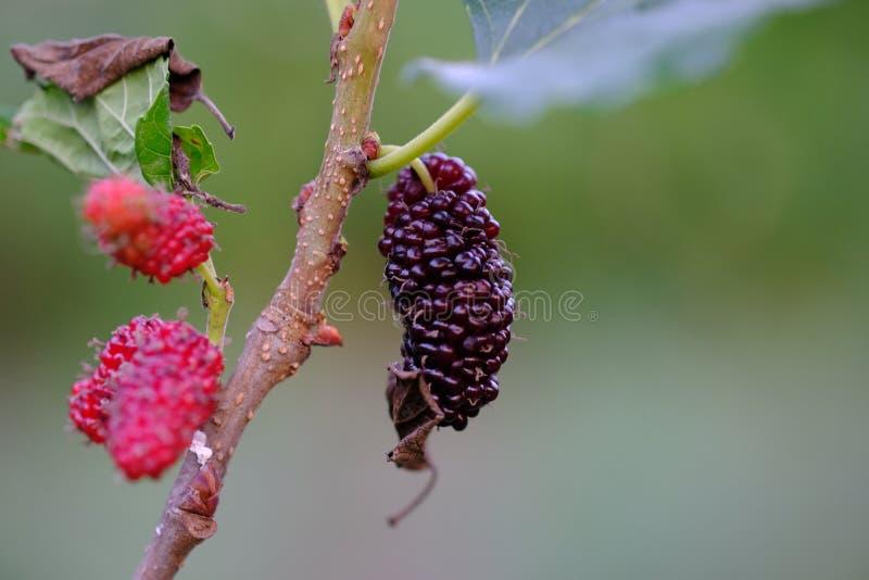 Fruta de árbol de mora en la granja Tailandia imágenes de archivo libres de regalías
