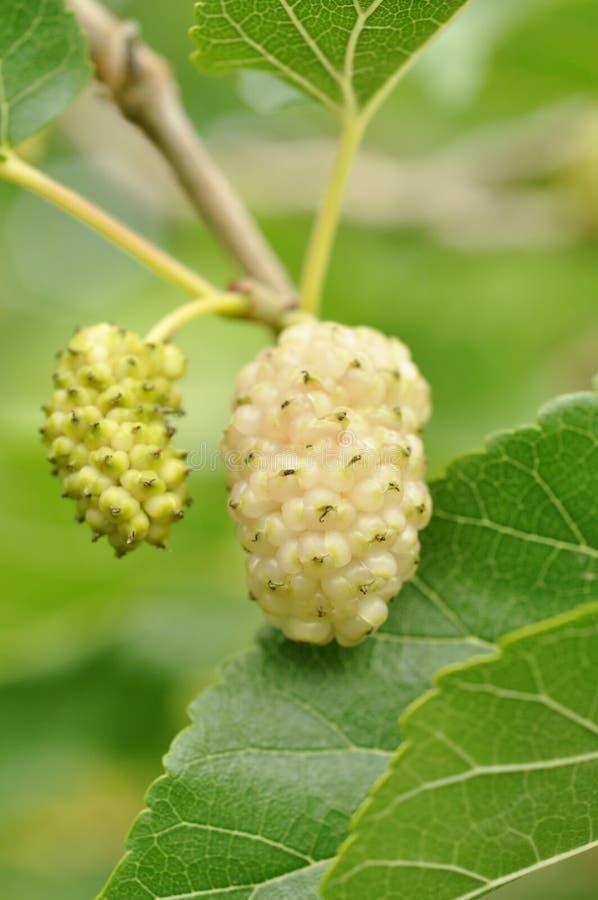 Fruta de amadurecimento do Mulberry fotografia de stock