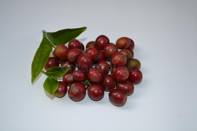 Fruta de café recién recolectada y hojas de té recién recolectadas del toty tamilnadu , India fotografía de archivo libre de regalías