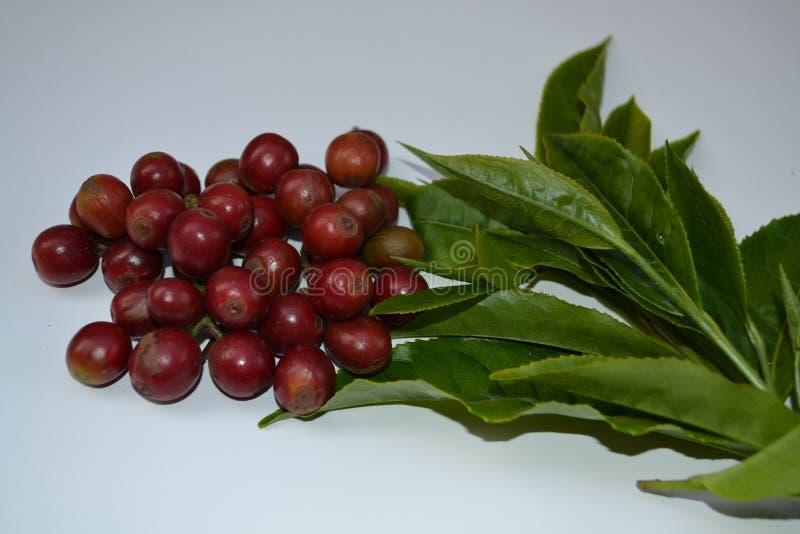 Fruta de café recién recolectada y hojas de té recién recolectadas del toty tamilnadu , India imagenes de archivo