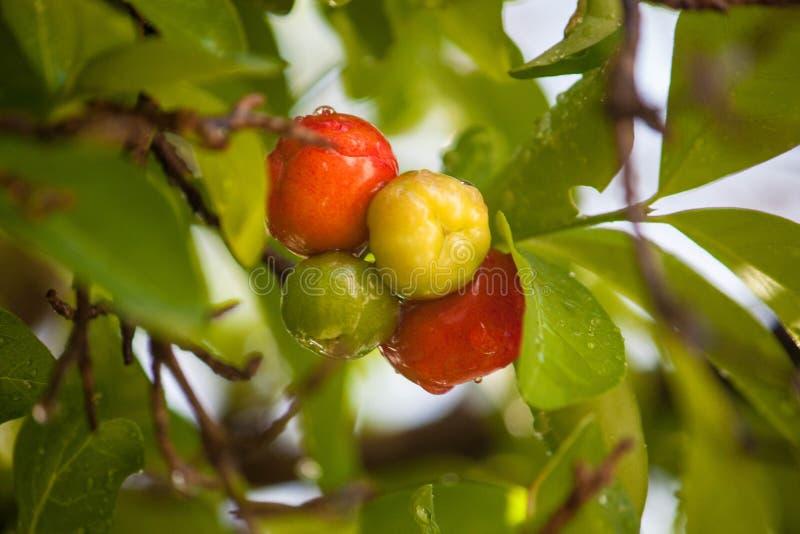 Fruta de Cimaruco fotografía de archivo libre de regalías