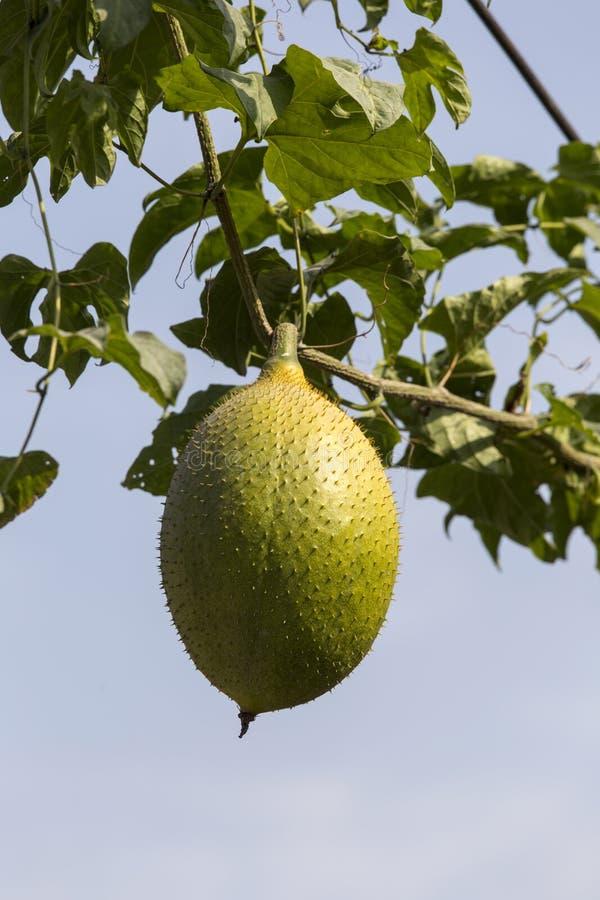 Fruta de Gac en cierre del árbol para arriba imagen de archivo