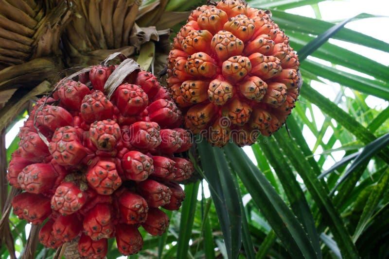 Fruta de Hala, tectorius del Pandanus Fruta tropical ex?tica foto de archivo libre de regalías