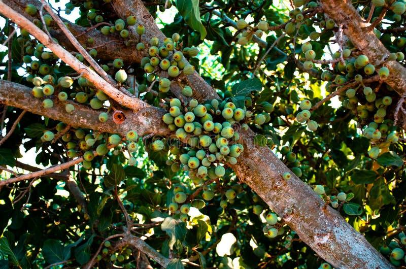 Fruta de JumMaiz fotografía de archivo libre de regalías