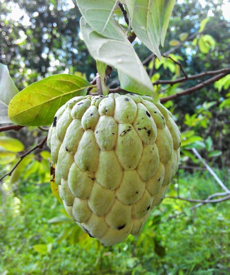 Fruta de la anona fotografía de archivo