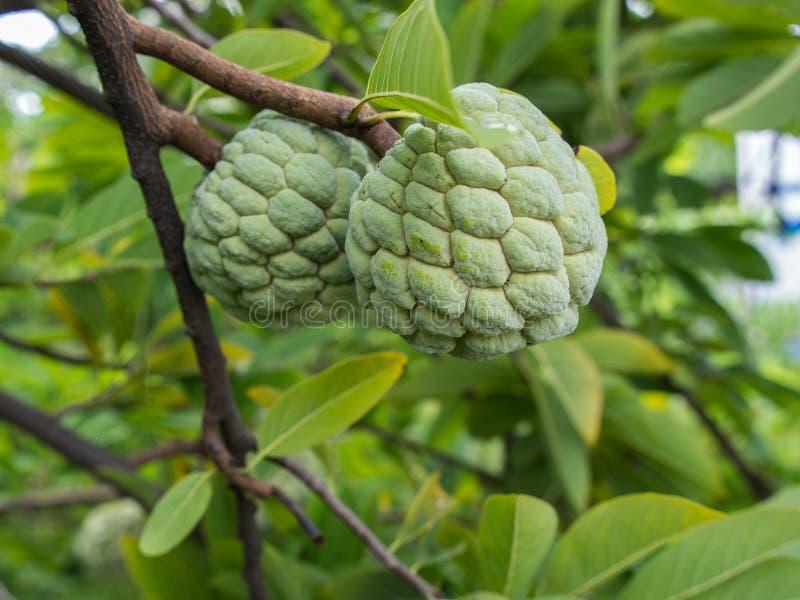 Fruta de la anona imagen de archivo