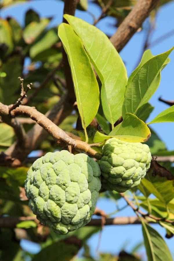 Fruta de la anona en ?rbol fotografía de archivo