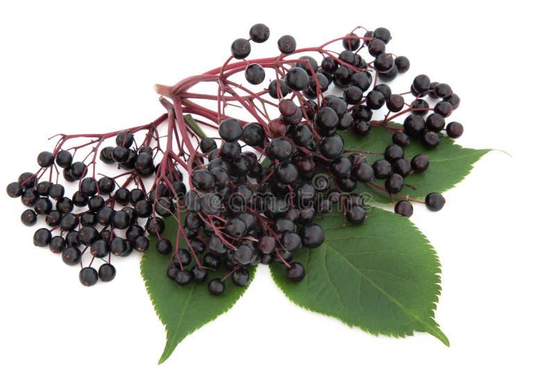 Fruta de la baya del saúco fotografía de archivo