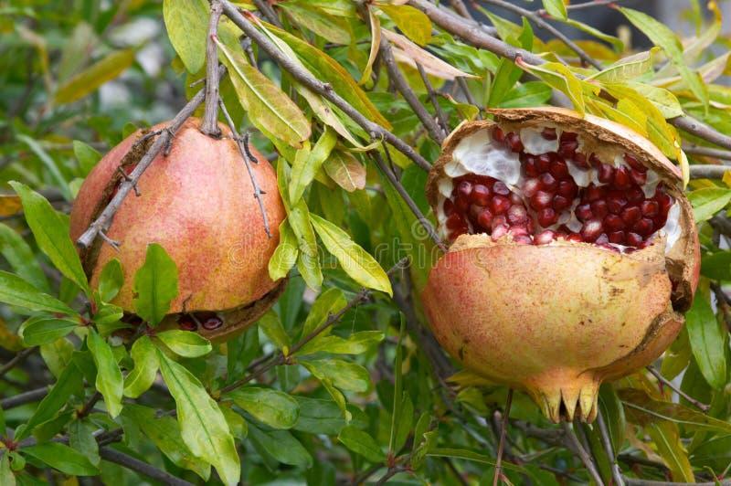 Fruta de la granada, granatum del Punica fotos de archivo