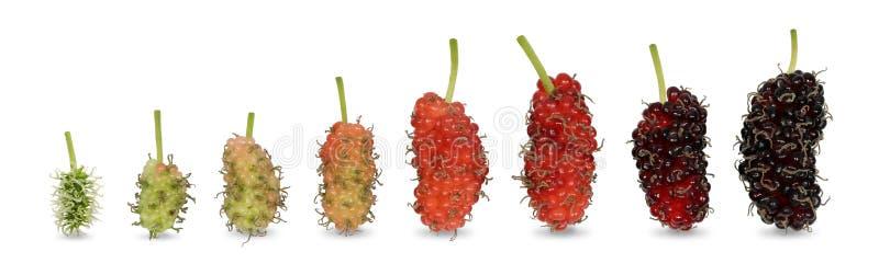 Fruta de la mora del color verde claro del bebé hasta que sea el color rojo oscuro maduro fotos de archivo libres de regalías