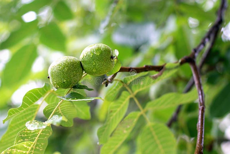 Fruta de la nuez en el árbol fotos de archivo