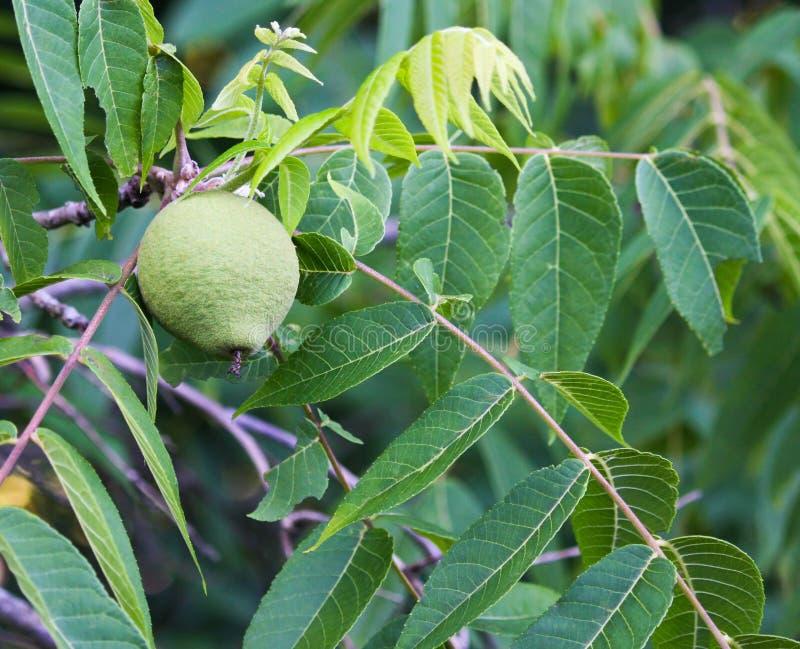 Fruta de la nuez negra fotos de archivo