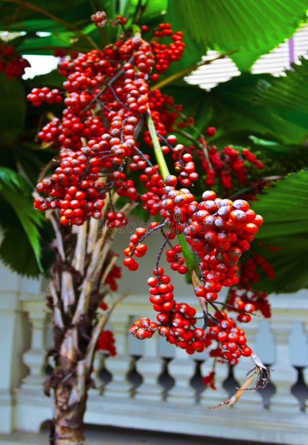 Download Fruta de la palma de betel foto de archivo. Imagen de maduro - 42430478