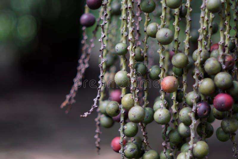 Fruta de la palma de la reina imagenes de archivo