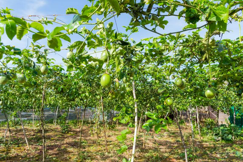 Fruta de la pasión inmadura, planta comestible en la granja, uso de la imagen para hacer publicidad, diseño que empaqueta y más fotografía de archivo
