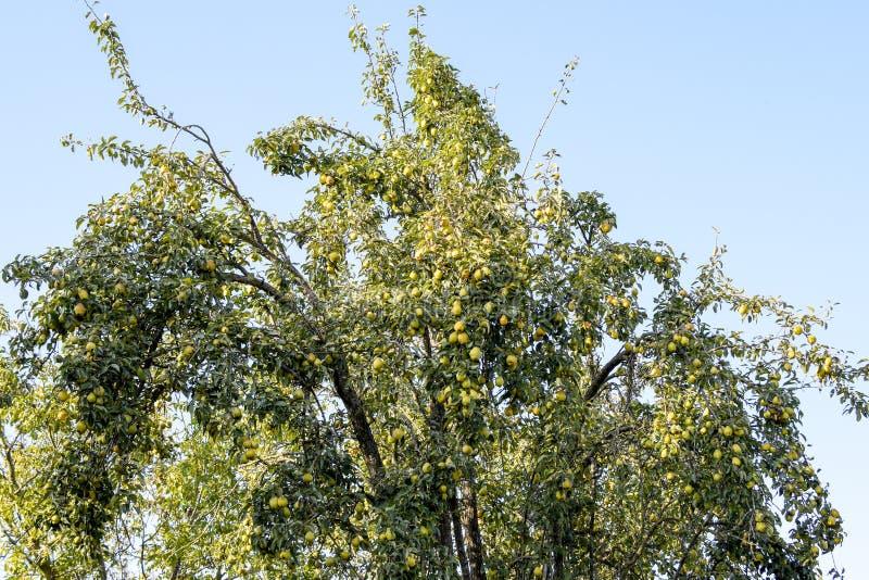 Fruta de la pera en las ramas de un árbol Peral viejo imagenes de archivo